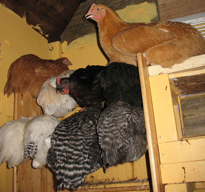 chicken coop roost. Chickens on roost