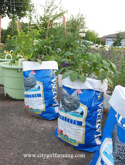 Potato Plants in Containers Growing Container Potatoes